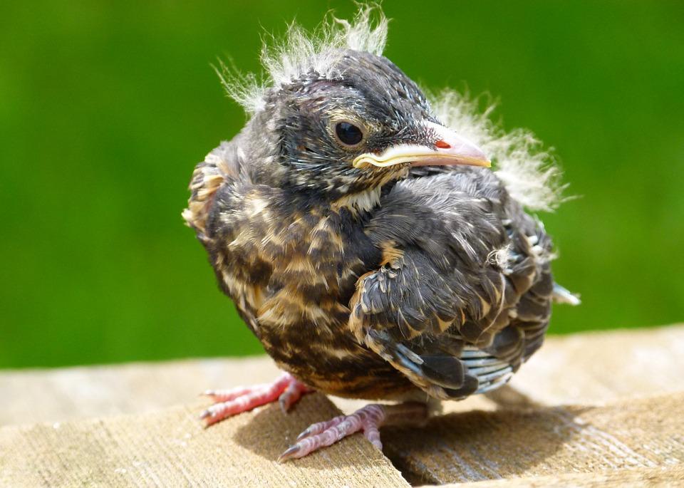 13  A half-pluckedbird